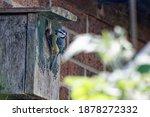 Blue Tit Entering Nest Box To...