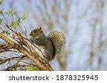 American Squirrel Eats A Nut In ...