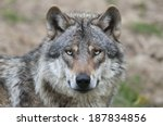 European Grey Wolf  Canis Lupus