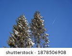 Spruce Tree With Cones Covered...