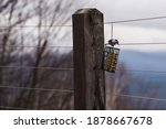 A Chickadee Bird Eating From A...