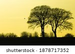 Silhouette Of Oak Trees In...