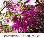 Branch With Bright Pink Flowers ...