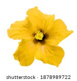 yellow chinese rose isolated on ... | Shutterstock . vector #1878989722