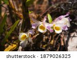 Clump Of Orchid Wild Flowers On ...