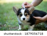 Small photo of Close up woman applying tick and flea prevention treatment and medicine to her corgi dog or pet