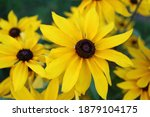 Yellow coneflower   echinacea...