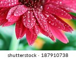 Abstract Of A Red Gerber Daisy...
