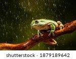 White's Tree Frog  Litoria...
