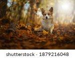 The Welsh Corgi Pembroke Dog Is ...