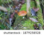 Tiny Mushroom With Brown Cap...