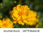 Orange Cosmos Sulphureus Cav...