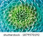 Dahlia Turquoise Green Flower.  ...