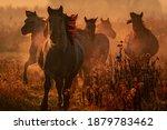 Wild Konik Horses Wich Came...