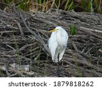 Snowy Egret Standing On One Leg