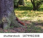 Red Squirrel Climbing A Tree In ...