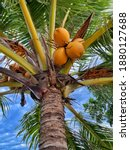 Big Yellow Coconuts On The Palm ...