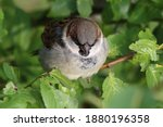 A Sparrow Rests In The Bush