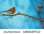 Male House Finch Perched On A...