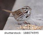 A Song Sparrow  Melospiza...
