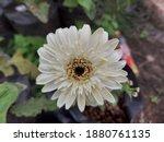 Chrysanthemums Blooming In...