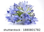 Agapanthus  Blossoms As...