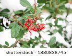 Tree Branches With Red Berries...