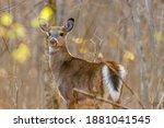 Backlit White Tailed Deer ...