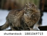 Fluffy Ginger Kitten. Tabby...