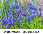 Muscari Armeniacum Close Up ...
