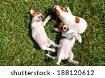 Stock photo cute puppies playing outdoors 188120612