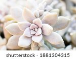 Crassulaceae Plant Known As...