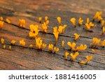 Macro Yellow Jelly Fungus...