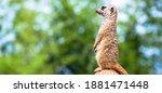 The Meerkat Attitude Is The...