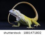 A Yellow Iguana  Iguana Iguana  ...