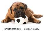 Bullmastiff Resting His Head O...