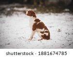Breton Dog. Hunting Dog Breed....