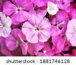 Sweet Flora William Blooming...