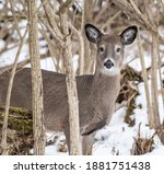 Curious  White Tailed Deer...