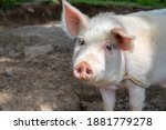 White Pig On Outdoor Pasture Of ...