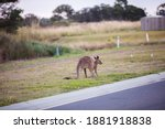 Kangaroos Grazing Dinner On...