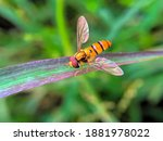 A Hover Insect Perched On The...