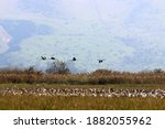 Large Flock Of Cranes On The...