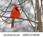 Male Red Northern Cardinal...
