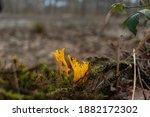 Orange Yellow Calocera Viscosa...