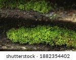 Beautiful Green Moss On The...