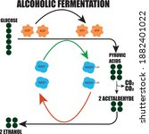 ethyl alcohol fermantation... | Shutterstock .eps vector #1882401022