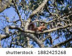 Red Squirrel Climbing On Tree...