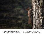 A Squirrel Climbs Up A Tree...