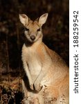 Small photo of Female Agile Wallaby (Macropus agilis), Kakadu National Park, Northern territory, Australia